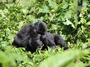 8 Days Gorilla Safari in Uganda
