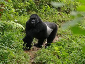 5 Days Gorilla Tracking Safaris in Uganda