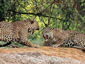 4 Day Pantanal Jaguar Tour in Mato Grosso, Brazil