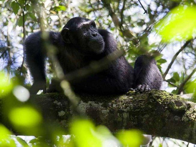 4 Days Chimpanzee Tracking Safari in Uganda