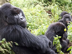 5 Days Gorilla and Chimp Habituation Safari in Uganda