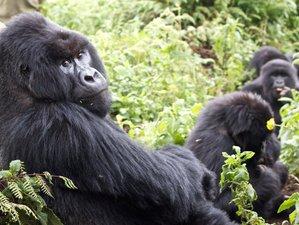 5 Days Mountain Gorilla and Chimp Habituation Experiential Safari in Uganda