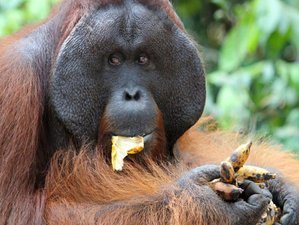 3 Day Orangutan Visit and Wildlife Tour in Tanjung Puting National Park, Borneo