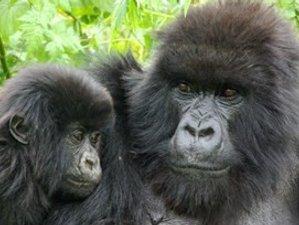 4 Days Gorilla Safaris in Bwindi Impenetrable National Park, Uganda