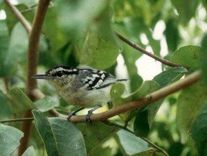 5 Day Allpahuayo - Mishana and Yanamono Community Reserves Birdwatching Safari in Peru