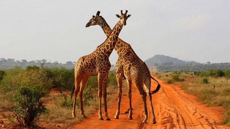 5 Days Tsavo And Amboseli Safari In Kenya