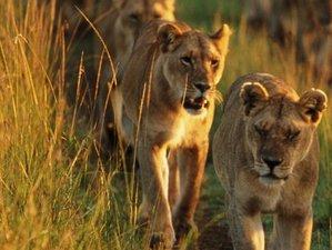 4 Days Masai Mara and Lake Nakuru Safari in Kenya