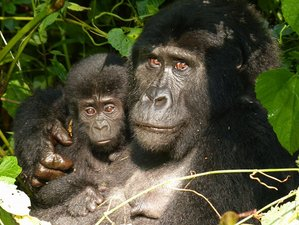 5 Days Chimpanzee and Gorilla Safari in Uganda