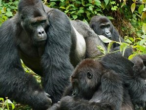 7 Days Gorilla Safaris in Entebbe, Uganda