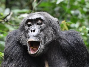 8 Days Chimps, Gorillas, and Wildlife Safari in Uganda