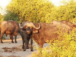 16 Day Buffalo Trail Safari in Botswana
