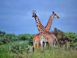 7 Days Best of Kenya Safari in Maasai Mara, Lake Nakuru, Lake Naivasha, Amboseli