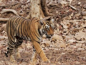 14 Day Roar of Tiger Safari in India
