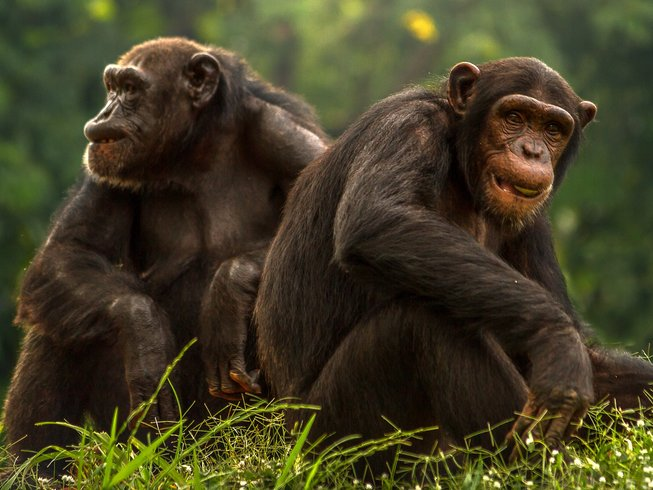 Chimpanzee Trekkings