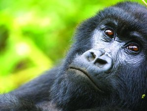 4 Days Ultimate Gorilla Safari Experience in Bwindi Impenetrable National Park, Uganda