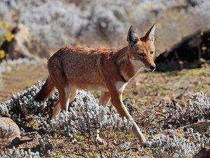 9 Days Mountain Trekking and Wildlife Tour in Bale Mountains, Ethiopia