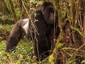 3 Days Gorilla Tracking Safari in Bwindi Impenetrable National Park, Uganda